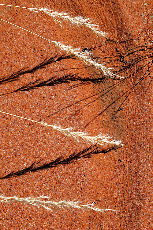 Seeding Spinifex after rare desert rains. Gradually the spears bend and with the help of the wind write stories in the sand