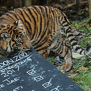 Tigers as part of the stocktake at the London zoo on the 3rd January 2017,UK. Photo by See li/Picture Capital