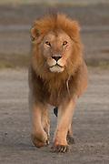 Male lion in the Ndutu area of Tanzania, East Africa.