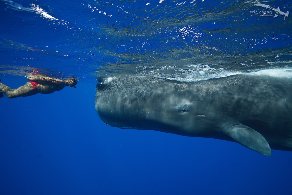 Andrew, a local guide, is friends with Scar, a 10-year old sperm whale (Physeter macrocephalus) in Dominica.<br /> <br /> Canon EOS-5D Mark II, Tokina 17mm f3.5 lens, Seacam underwater housing