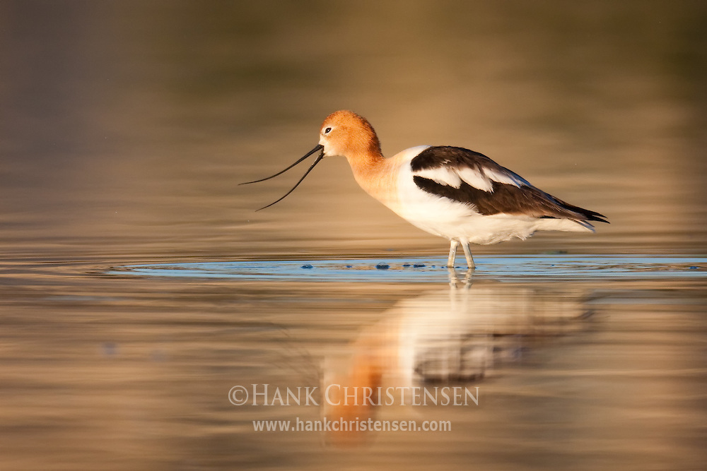 An American Avocet opens its beak to call as it feeds in early morning