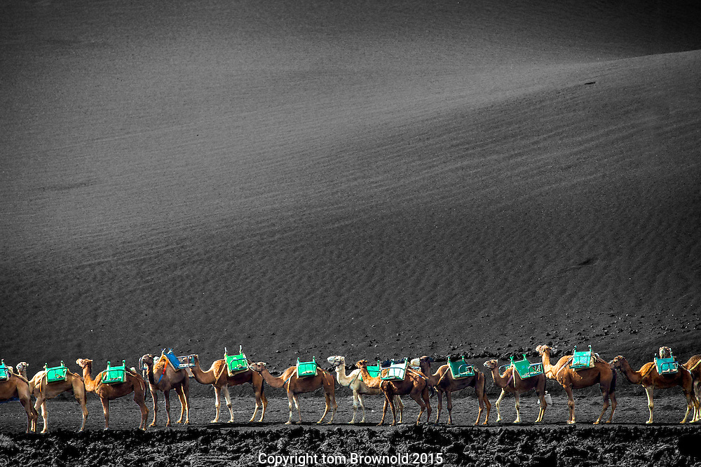 Camels in a row, awaiting their tourists to carry in the cider fields of Timanfaya, National Park, Lanzarote, Canary Island