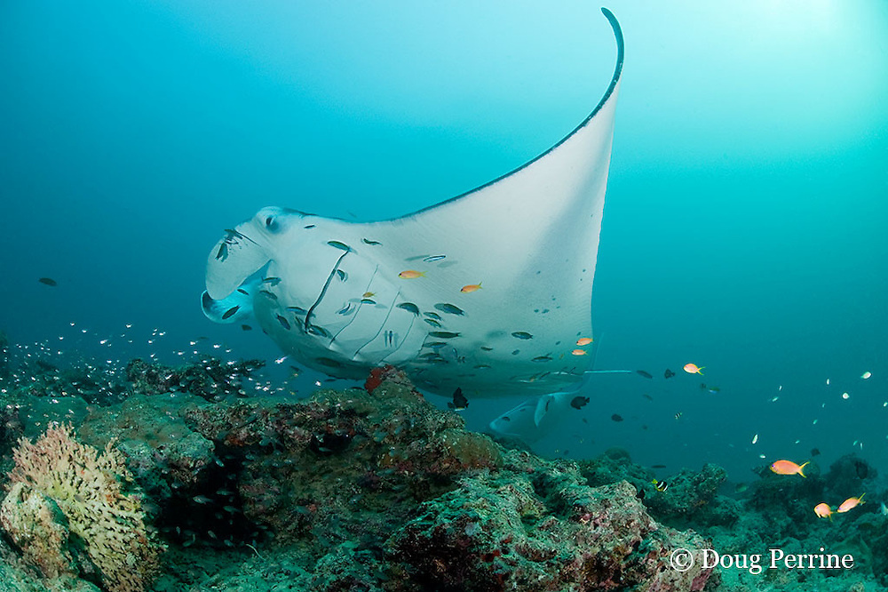 reef manta ray, Manta alfredi (formerly Manta birostris ), being cleaned by moon wrasses, Thalassoma lunare, and blue-streak cleaner wrasses, Labroides dimidiatus; gills are puffed open to allow access to cleaner fish; orange basslets or anthias do not participate in cleaning; Hanifaru Bay, Hanifaru Lagoon, Baa Atoll, Maldives ( Indian Ocean )