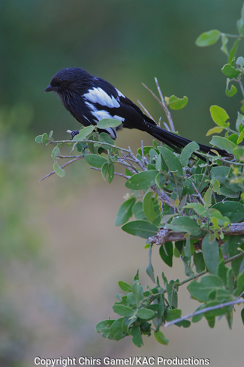 Magpie shrike (Lanius melanoleucus) perched on a branch, Tarangire National Park, Tanzania, Africa