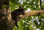A black bear cub rests in a tree - Great Smoky Mountains National Park, Tennessee