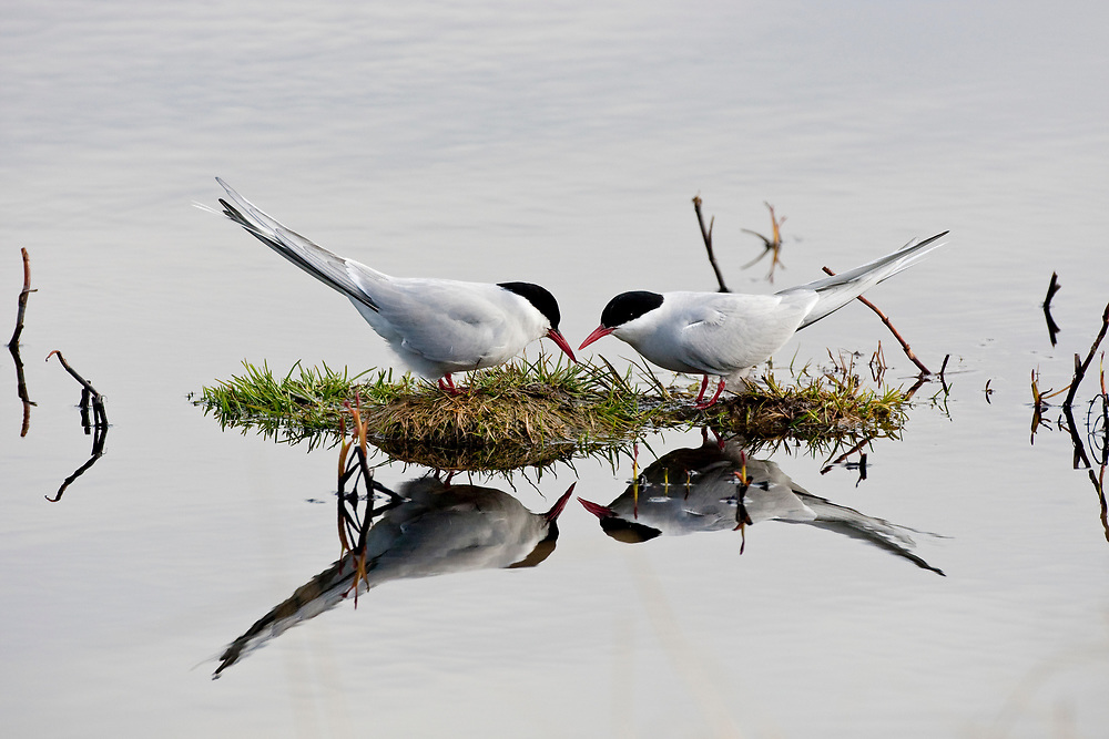 USA, Alaska, Anchorage.  Pair of adult Arctic Terns (Sterna paradisaea) in breeding plumage on a small island facing each other in a mating ritual in May at Potter Marsh.