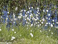 Cotton grass, Sweden, Norrland, Lapland