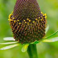 Coneflower, Middle Cottonwood Creek, Bozeman, Montana