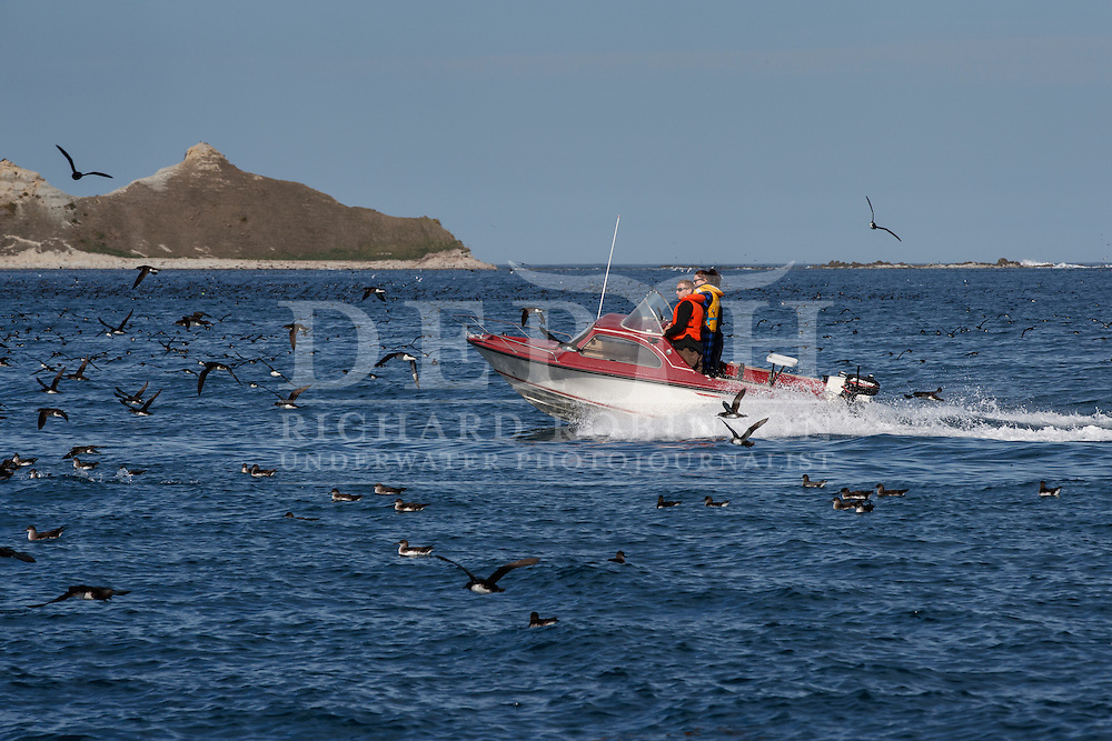 A recreational fisherman drives fast through a raft of Hutton&rsquo;s shearwater (Puffinus huttoni)  also known as the Kaikōura tītī is released back into the wild off the coast of Kaikoura, New Zealand. <br /> Friday 30 September 2016<br /> Photograph Richard Robinson &copy; 2016