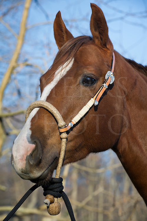 """Horse wearing new bosal, bit less tack alternative to traditional bridle or halter, silver and ivory trim,""""Squeak""""."""