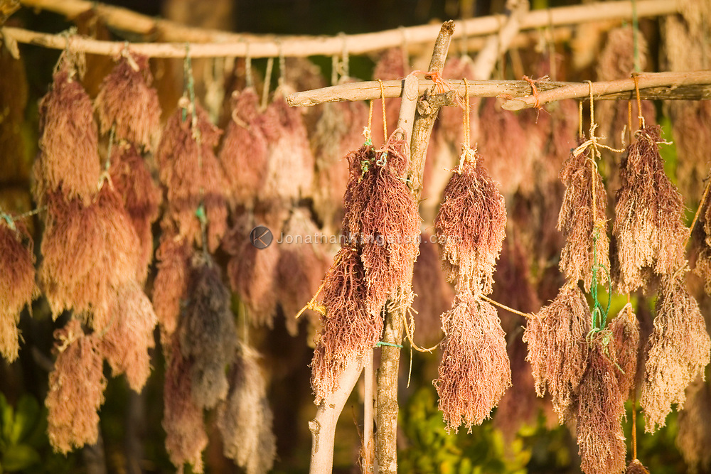After being picked and cleaned, seaweed hangs to dry on the beach in Matemwe, Zanzibar, Tanzania. After drying this new source of income, the seaweed will most likely be sent to Japan or Europe to be used as jellifying and emulsifying agents.