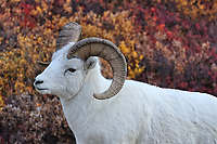 Dall Sheep. Image taken with a Nikon D3 camera and 80-400 mm VR lens (ISO 450, 80 mm, f/4.5, 1/1000 sec).