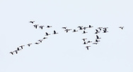 White-fronted Geese (Anser albifrons) flying in formation over Egg Island in Prince William Sound in Southcentral Alaska. Spring. Afternoon.