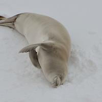 A Weddell Seal sleeping in McMurdo Sound, Antarctica.