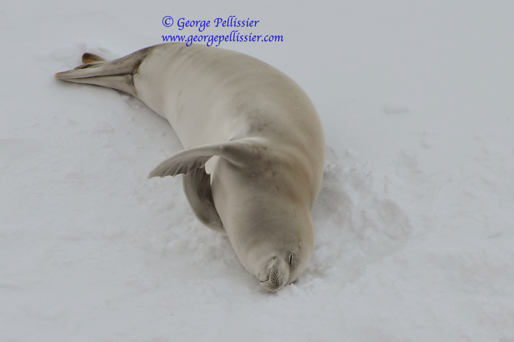 A Weddell Seal sleeping in McMurdo Sound, Antarctica.