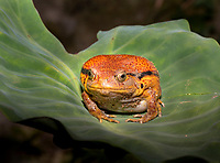 Tomato frog on a big leaf, Magical Madagascar Photo Tour. Wildlife and nature fine art photography prints for sale