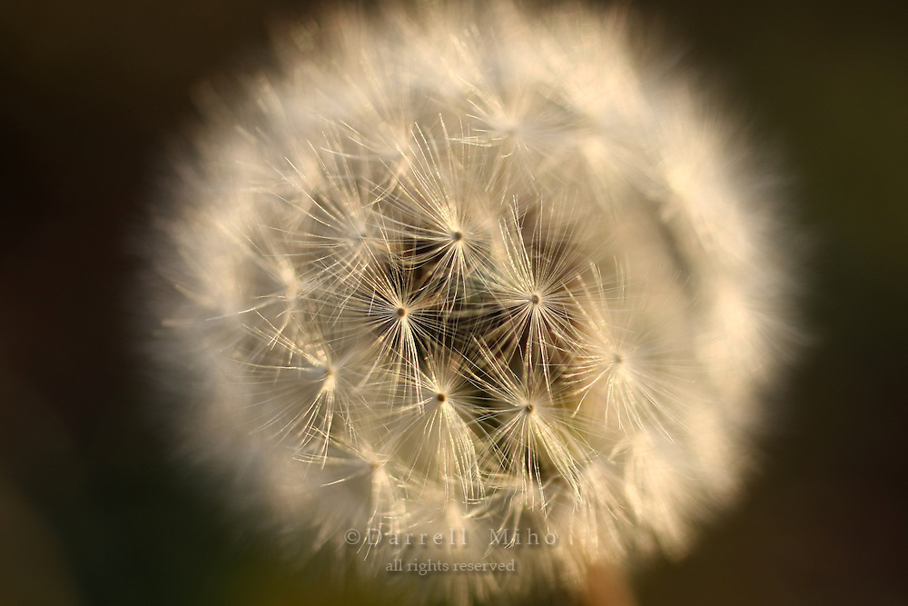 Nov. 20, 2009; Temple City, CA - dandelion in my front yard<br /> <br /> Photo credit: Darrell MIho