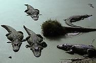 Vereinigte Staaten von Amerika, USA, Florida: amerikanischer Mississippi-Alligator (Alligator mississippiensis). Eine Gruppe von Alligatoren in flachem Wasser. | United States of America, USA, Florida: American Alligator, Alligator mississippiensis, group of Alligators in the shallow water of a duckweed swamp. |