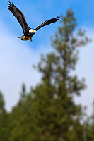 JEROME A. POLLOS/Press..An adult eagle flies toward Higgens Point over the water of Lake Coeur d'Alene Tuesday.