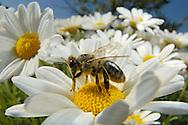 DEU, Deutschland: Biene, Honigbiene (Apis mellifera), Biene auf einer Margeritenblüte, sammelt Pollen, Bienenstation an der Bayerischen Julius-Maximilians-Universität Würzburg | DEU, Germany: Bee, Honey-bee (Apis mellifera), bee sitting on a daisy collecting pollen, Beestation at the Bavarian Julius-Maximilians-University Würzburg