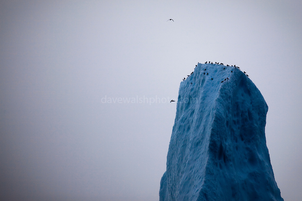 Birds on the peak of an iceberg, Baffin Bay, off West Greenland. <br />