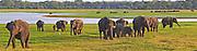 elephants gathered in Minneriya National Park at sunset