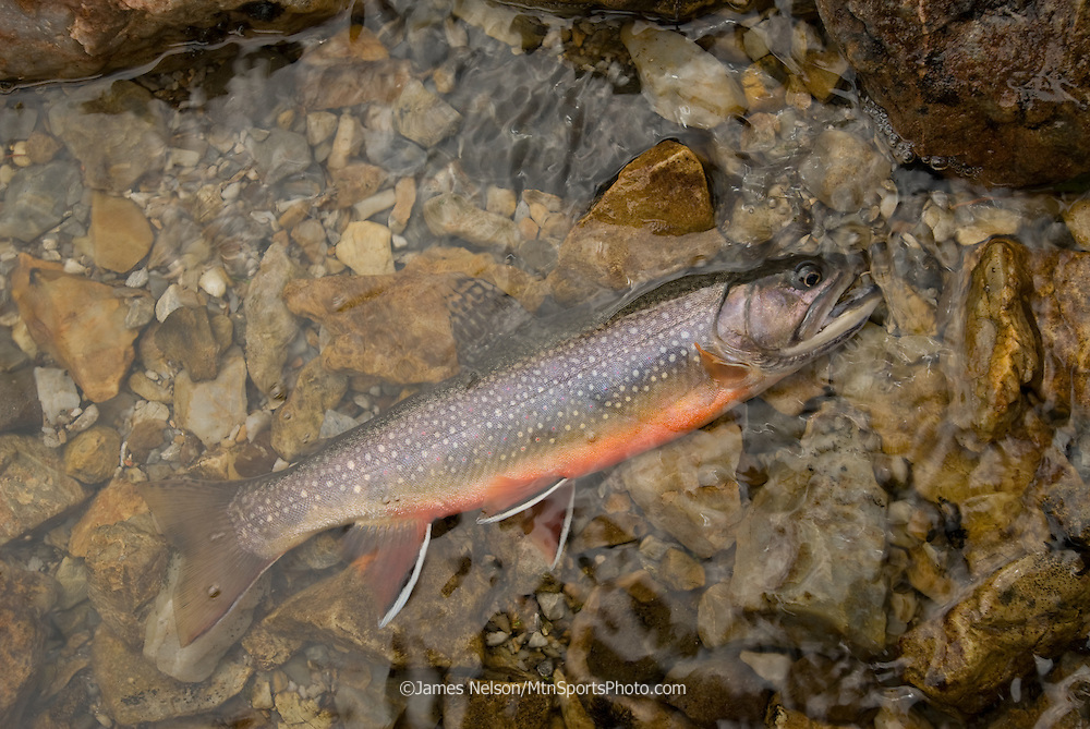 A brook trout caught on an alpine lake in the Lost River Range of Idaho.