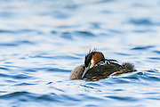 An Australasian Crested Grebe and its two chicks snuggle down and sleep out on Lake Hayes, New Zealand.