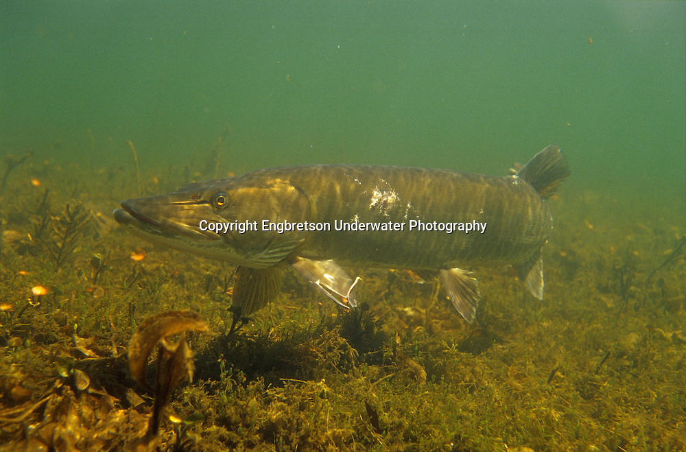 Musky<br /> <br /> Engbretson Underwater Photography