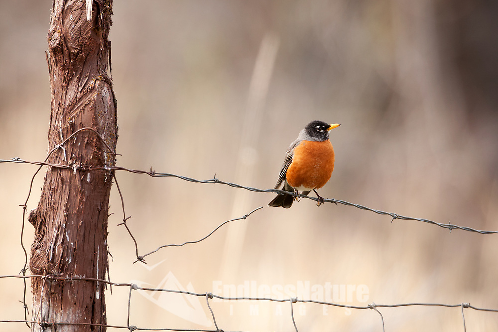 An American Robin perches on a fence wire taking a moment after looking for insects on the ground below.