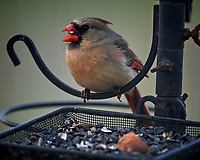 Female Northern Cardinal perched above a bird feeder. Image taken with a Nikon D5 camera and 600 mm f/4 VR lens (ISO 1600, 600 mm, f/4, 1/400 sec)