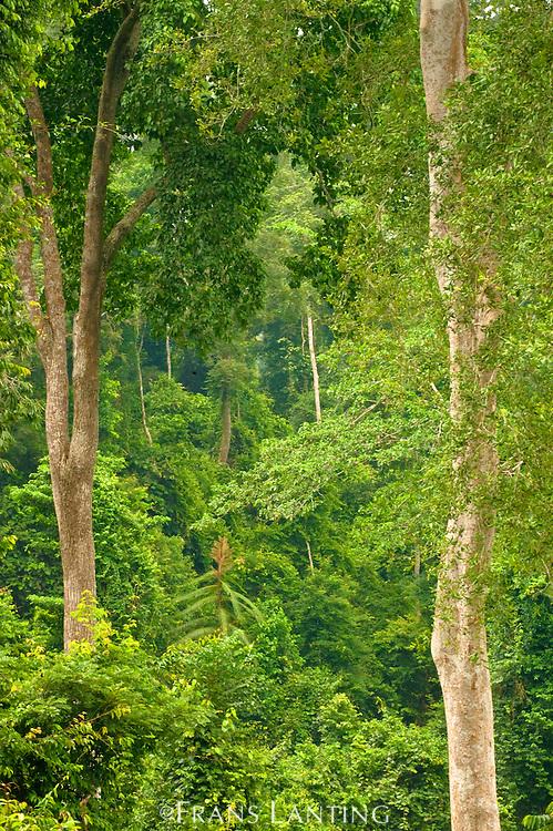 Tropical rainforest, Kakum National Park, Ghana
