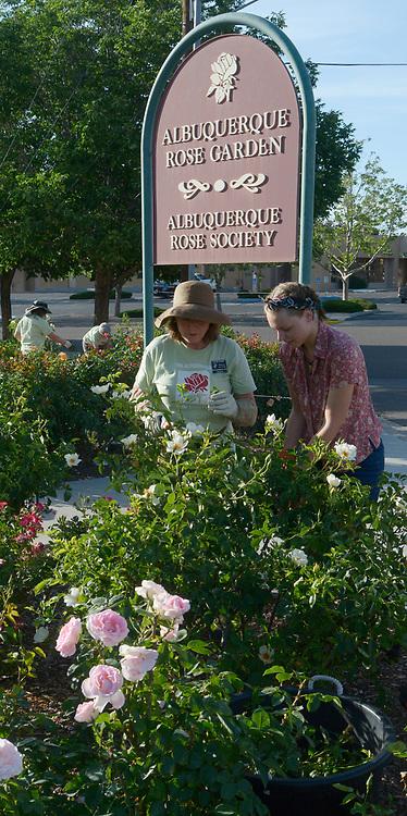 gbs060617o/LIVING -- Katrine Stewart trains Faith Holland in care for rose plants at the Albuquerque Rose Garden on Thursday, June 6, 2017. (Greg Sorber/Albuquerque Journal)