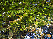A quiet pool of water in a stream covers round stones and reflects green leaves and blue sky. Washington, USA.