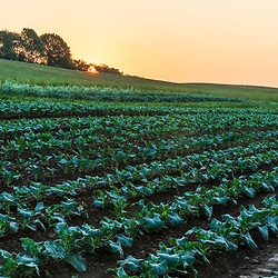 Cabbage and kale grow on a farm on Kinney Hill in South Hampton, New Hampshire. Sunrise.