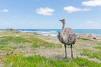 Female Ostrich feeding along the coastline, Cape Point, Table Mountain National Park, Western Cape, South Africa.