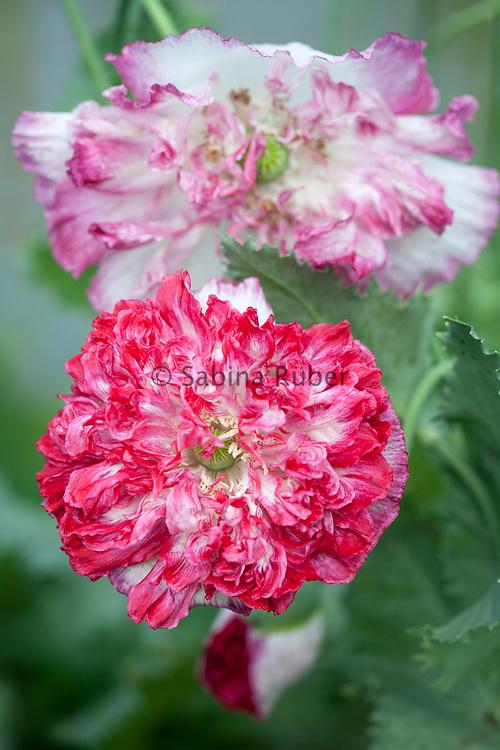 Papaver somniferum var. paeoniflorum 'Flemish Antique' - peony poppy