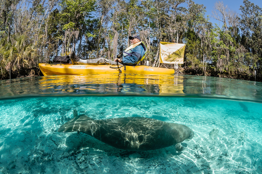 Florida manatee, Trichechus manatus latirostris, a subspecies of the West Indian manatee, endangered. A Manatee Watch volunteer in a yellow kayak and flag patrols the waters where manatee gather to stay warm in the winter. A manatee swims safely underwater. Horizontal orientation split image with sun rays and shadows. Three Sisters Springs, Crystal River National Wildlife Refuge, Kings Bay, Crystal River, Citrus County, Florida USA.