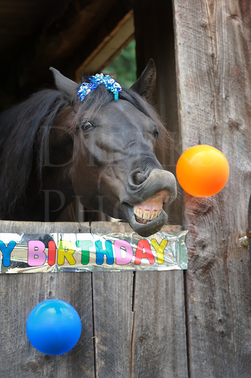 Horse trying for a birthday celebration kiss in a party portrait with toothy grin and funny expression.