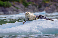 Harbor seal and pup on ice from the South Sawyer Glacier in Tracy Arm - Fords Terror Wilderness, Southeast Alaska.