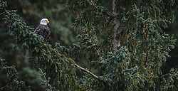 A bald eagle (Haliaeetus leucocephalus) sits in a tree in the morning sun in the Alaska Chilkat Bald Eagle Preserve along the Chilkat River near Haines, Alaska. During late fall, bald eagles congregate along the Chilkat River to feed on salmon. This gathering of bald eagles in the Alaska Chilkat Bald Eagle Preserve is believed to be one of the largest gatherings of bald eagles in the world.