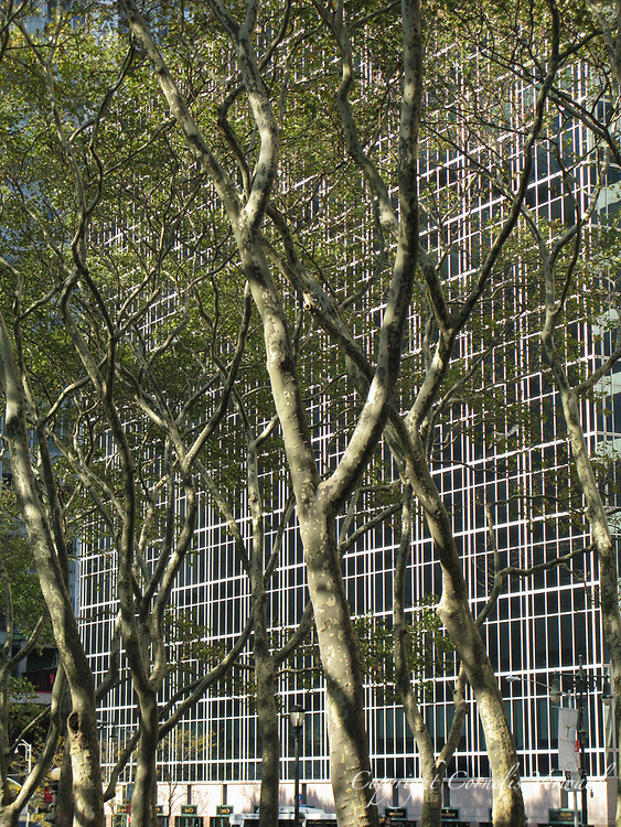 Sicamore trees in Bryant Park, New York City.