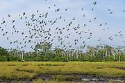 Congo Green Pigeon (Treron calvus calvus) at mineral lick<br /> Lango Bai<br /> Republic of Congo (Congo - Brazzaville)<br /> AFRICA