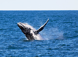 A humpback whale breaches near Barred Creek on the Kimberley coast, north of Broome.