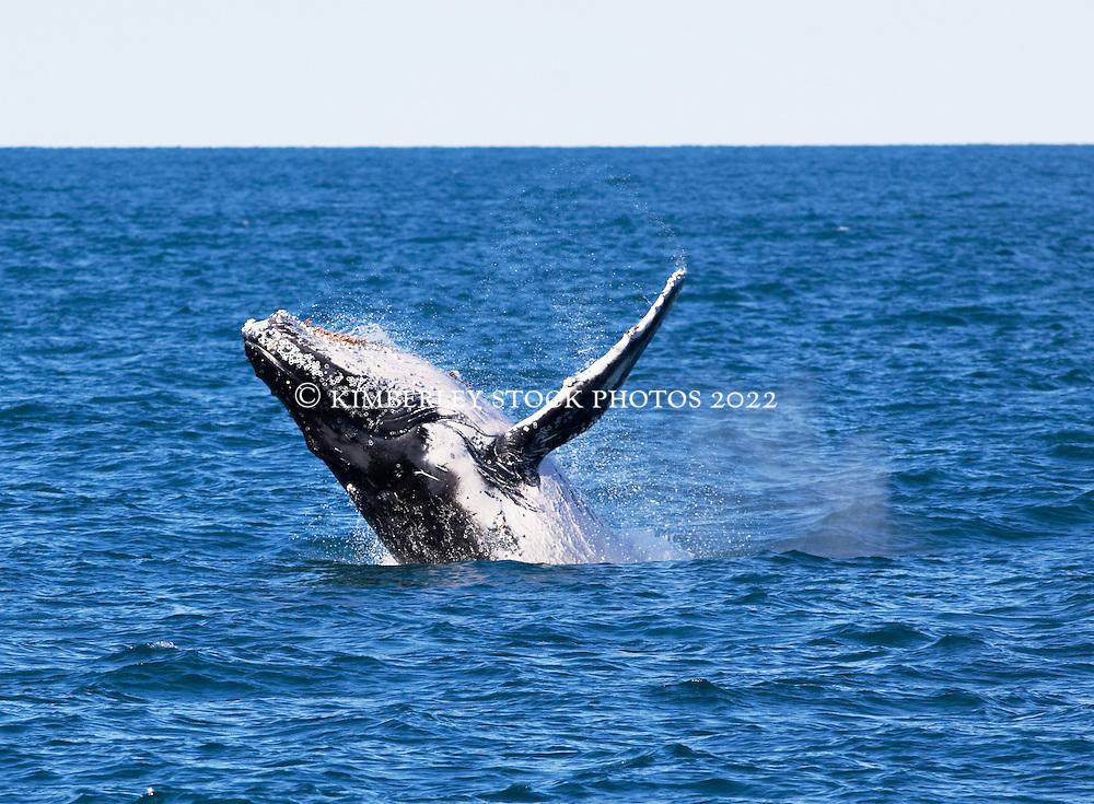 A humpback whale breaches near Barred Creek on the Kimberley coast, north of Broome.