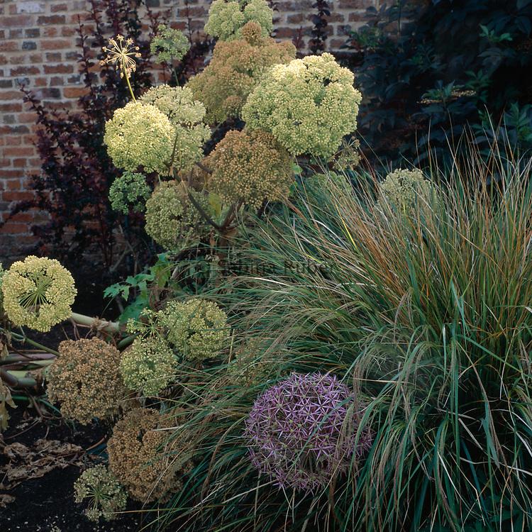 Angelica archangelica and Allium cristophii