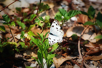Male checkered white butterfly photographed in Bokeelia on Pine Island near the Calusa Indian Mounds in Lee County, Florida.