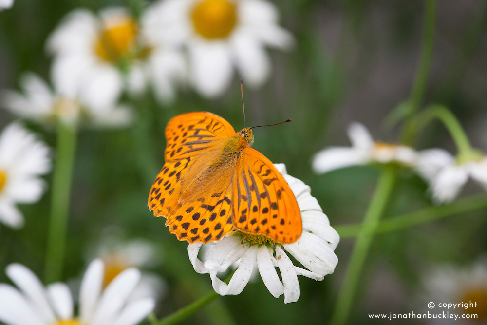 Male Silver washed fritillary - Argynnis paphia - on ox eye daisy