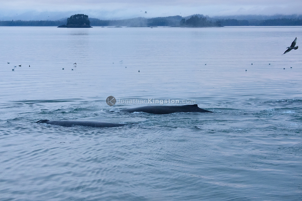 Two humpback whales rest on the surface of the water in a behavior known as logging near Petersburg, Alaska.