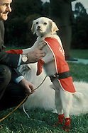 .Yuki  LBJ's dog dressed up for the wedding of Lynda Bird and Chuck Robb..Photgraph by Dennis Brack BS B13